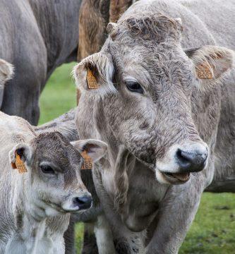 Significado de soñar con Vacas y Ganado