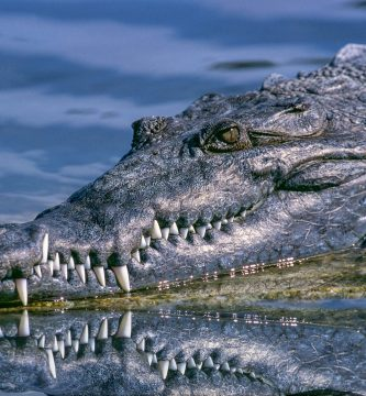 Significado de soñar con cocodrilo o caimán